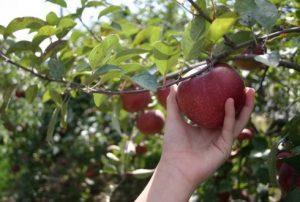appel-plukken